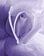 Purple Roses Photo Prints - Purple Passion Rose Flower Print by Jennie Marie Schell