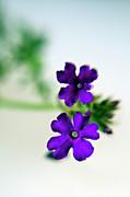 Kasia Dixon - Purple Petals