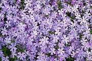 Phlox Framed Prints - Purple Phlox Framed Print by Nan Moore