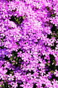 Phlox Posters - Purple Phlox Poster by Thomas R Fletcher