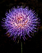 Thisle Framed Prints - Purple Pincushion Framed Print by Elaine Snyder