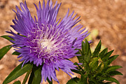 Pincushion Flower Prints - Purple Pincusion 1 Print by Douglas Barnett