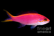 Reef Fish Posters - Purple Queen Anthias Poster by Danté Fenolio