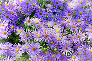 Asteraceae Posters - Purple Reigns Poster by Joan Carroll