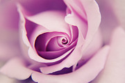 Selling Photos Buying Photos Online Prints - Purple Rose 0 Print by Benny  Woodoo