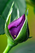 Purple Rose Bud Print by Christopher Holmes