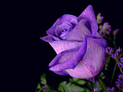Purple Rose Print by Darren Fisher