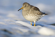 Bird At Sea Photos - Purple Sandpiper Calidris Maritima by Do Van Dijck