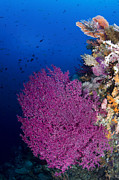 Raja Ampat Photos - Purple Sea Fan In Raja Ampat, Indonesia by Todd Winner