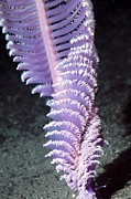 Sea Bed Prints - Purple Sea Pen Print by Georgette Douwma