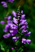 Skullcap Prints - Purple Skullcap Bloom Print by Barbara Bowen