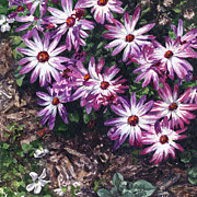 Lynette Cook Paintings - Purple Smiles by Lynette Cook