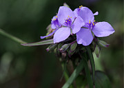 Macro Art Prints - Purple Spiderwort Flowers Print by Sabrina L Ryan