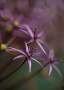Flower Stamen Framed Prints - Purple Stars Framed Print by Mike Reid