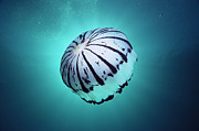 Ai Posters - Purple-striped Jellyfish Chrysaora Poster by Mark Spencer