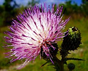 Bull Thistle Posters - Purple Thistle Flower Poster by Christopher  Mercer