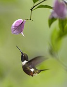 Nyctaginaceae Posters - Purple Throated Woodstar Hummingbird Poster by Tim Fitzharris