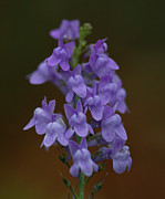Somerset Posters - Purple Toadflax Flowers Poster by Dr T J Martin