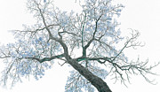 Purple Tree Framed Prints - Purple tree 2 Framed Print by Rebecca Margraf