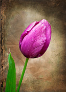 Texture Flower Framed Prints - Purple Tulip Framed Print by Fred LeBlanc