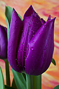 Dew Posters - Purple Tulip Poster by Garry Gay