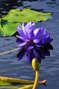 Andrea Everhard Prints - Purple Water Lily Print by Andrea Everhard