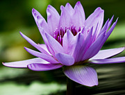 Water Lilies Framed Prints Prints - Purple Water Lily Print by Carol F Austin