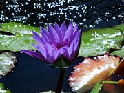 Lily Pad Photograph Framed Prints - Purple Water Lily In Water Framed Print by Chad and Stacey Hall