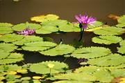Outdoor Still Life Art - Purple Water Lily by Mary Van de Ven - Printscapes