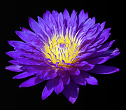 Water Lily Photos - Purple Water Lily by Steve Stuller