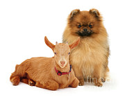 Guernsey Framed Prints - Pygmy X Guernsey Goat Kid And Pomeranian Framed Print by Jane Burton