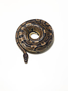 Curled Up Posters - Python Coiled Up In To A Perfect Circle Poster by Michael Blann