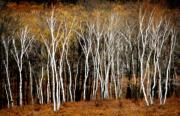 Reservoir Prints - Quabbin Birches Print by Richard Danek
