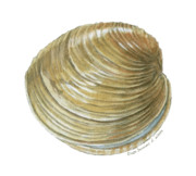 Shell Originals - Quahog Shell by Dominic White