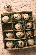 Cardboard Posters - Quail Eggs In Box Poster by Garry Gay