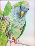 Quaker Parrot Framed Prints - Quaker Framed Print by Norma Gafford