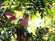 Quaker Parrot With Mimosa Flower Print by Theresa Willingham