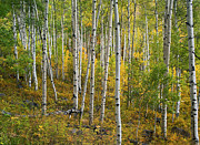 Quaking Aspen Posters - Quaking Aspen Forest Colorado Poster by Tim Fitzharris