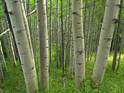 Quaking Aspen Photos - Quaking Aspen Forest In Spring Gunnison by Tim Fitzharris