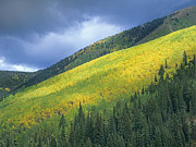 White River Prints - Quaking Aspen Forest Maroon Bells Print by Tim Fitzharris