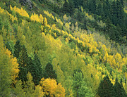 Quaking Aspen Photos - Quaking Aspen Grove In Fall Colors by Tim Fitzharris
