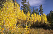 C Casch - Quaking Aspen Grove In...