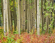 Collegiate Peaks Framed Prints - Quaking Aspen Trees And Fireweed Framed Print by Tim Fitzharris