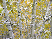 Quaking Aspen Posters - Quaking Aspen Trees Covered With Snow Poster by Tim Fitzharris