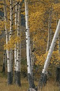 Woodland Scenes Posters - Quaking Aspen Trees In Autumn Poster by Norbert Rosing