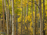 Quaking Aspen Posters - Quaking Aspen Trees In Autumn Santa Fe Poster by Tim Fitzharris