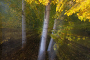 Quaking Aspen Photos - Quaking Aspen Trees In Autumn by Theo Allofs
