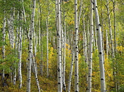 Quaking Aspen Photos - Quaking Aspen Trees In Fall Colorado by Tim Fitzharris