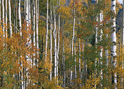 Quaking Aspen Posters - Quaking Aspen Trees In Fall Colors Lost Poster by Tim Fitzharris