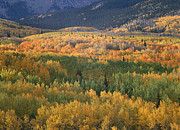 Quaking Aspen Posters - Quaking Aspen Trees In Fall Colors Poster by Tim Fitzharris